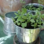 L'orto sul balcone – la crescita esuberante