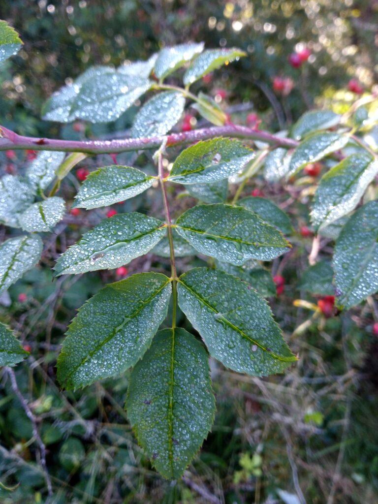 Rosa canina foglie
